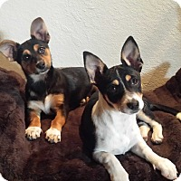 Adopt A Pet :: Noel (on right side  white) - San Dimas, CA