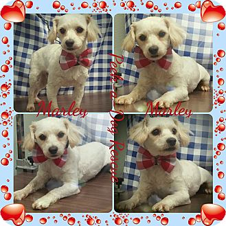 Poodle (Miniature)/Terrier (Unknown Type, Small) Mix Dog for adoption in South Gate, California - Marley