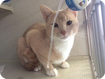 Domestic Shorthair Cat for adoption in New York, New York - Pumpkin
