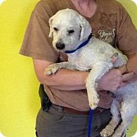 Adopt A Pet :: Ace - Phoenix, AZ