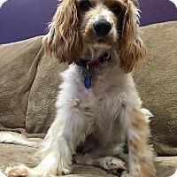 Adopt A Pet :: Nina - Santa Barbara, CA