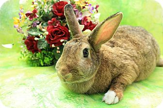 Flemish Giant Mix for adoption in Wilmington, North Carolina - Buffy