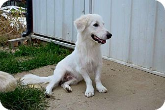 Basset Hound/Great Pyrenees Mix Dog for adoption in Hagerstown, Maryland - Goliath