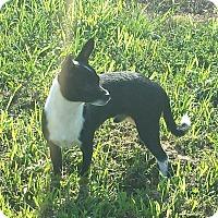 Adopt A Pet :: Bo - Crocker, MO