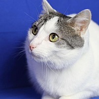 Domestic Shorthair Cat for adoption in Winston-Salem, North Carolina - Shelby