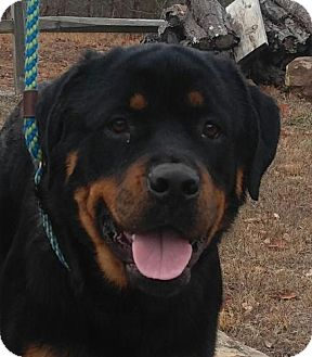 Rottweiler Mix Dog for adoption in Hagerstown, Maryland - Roxie