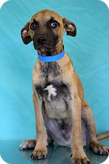 Shepherd (Unknown Type) Mix Puppy for adoption in Waldorf, Maryland - Feldspar