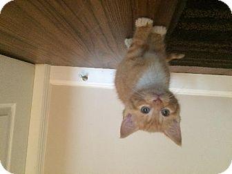Domestic Shorthair Kitten for adoption in Marlton, New Jersey - Tank