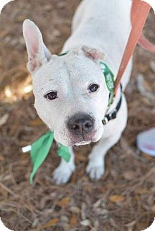 Bull Terrier Dog for adoption in Summerville, South Carolina - Talia