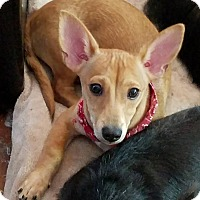 Adopt A Pet :: ROYCE - Inland Empire, CA