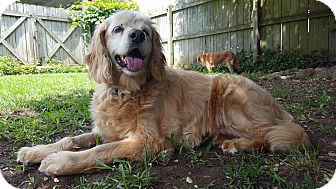 Cocker Spaniel/Golden Retriever Mix Dog for adoption in Bedminster, New Jersey - Sorrel