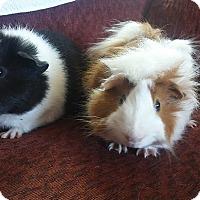 Adopt A Pet :: Boxer & Panda - San Antonio, TX