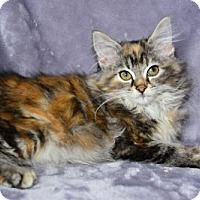 Maine Coon Kitten for adoption in Buford, Georgia - october
