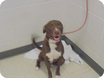 Retriever (Unknown Type)/Pit Bull Terrier Mix Dog for adoption in Gulfport, Mississippi - Simpson - Lonely Heart