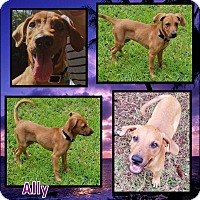 Adopt A Pet :: Ally - Ringwood, NJ