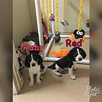 Adopt A Pet :: Ruby - Fenton, MO
