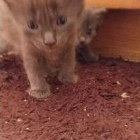 Adopt A Pet :: FLAPJACK - Mesa, AZ