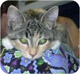 Calico Kitten for adoption in West Warwick, Rhode Island - Abigail