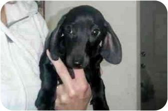 Dachshund Puppy for adoption in West Richland, Washington - Jazz