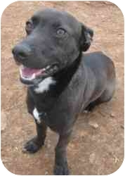 Jack Russell Terrier/Dachshund Mix Dog for adoption in Stillwater, Oklahoma - Sedgely - Free