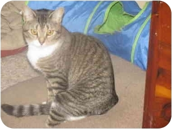 Domestic Shorthair Cat for adoption in Xenia, Ohio - Nina