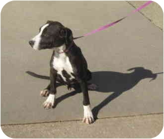 Pit Bull Terrier Mix Dog for adoption in Stillwater, Oklahoma - Maquire