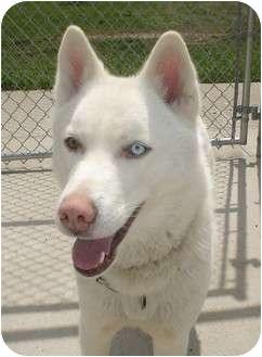Husky Mix Dog for adoption in Lake Odessa, Michigan - Isis