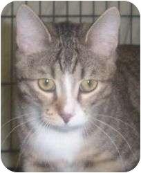 Snowshoe Cat for adoption in Andover, Kansas - Tyra
