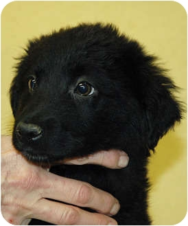 Flat-Coated Retriever/Golden Retriever Mix Puppy for adoption in Ripley, Tennessee - Baby Bears (1786-87)