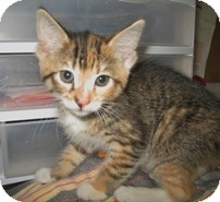 Domestic Shorthair Kitten for adoption in Shelton, Washington - Ailsa