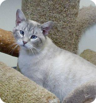 Siamese Cat for adoption in Scottsburg, Indiana - Klein
