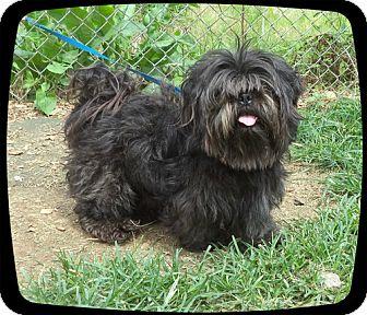 Shih Tzu Mix Dog for adoption in Marietta, Georgia - BUDDY