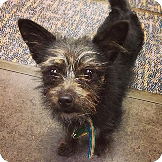 Scottie, Scottish Terrier Puppy for adoption in Hilliard, Ohio - Troy