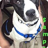 Adopt A Pet :: Sampson - MAIDEN, NC