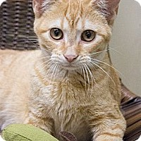Adopt A Pet :: Marmalade - Chicago, IL