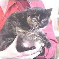 Domestic Shorthair Cat for adoption in Union Lake, Michigan - Jennifer>^.,.^< $35 adoption