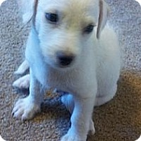 Adopt A Pet :: Snowball - Chandler, AZ