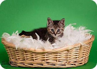 Domestic Shorthair Kitten for adoption in Sauk Rapids, Minnesota - Kittens