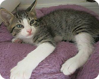 American Wirehair Kitten for adoption in Tampa, Florida - Jalapeno
