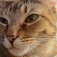 Domestic Shorthair Cat for adoption in New York, New York - Phoebe