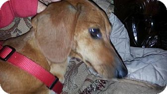Dachshund Dog for adoption in Coatesville, Pennsylvania - Violet