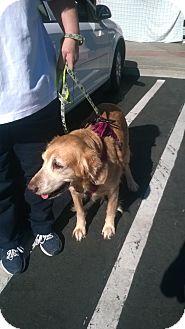 Golden Retriever Mix Dog for adoption in Santee, California - Mocha