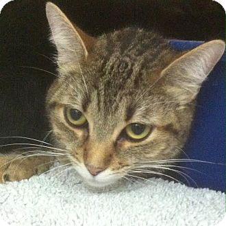 Domestic Shorthair Cat for adoption in Westminster, California - Alice