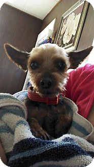 Yorkie, Yorkshire Terrier Dog for adoption in Grand Rapids, Michigan - Sophie