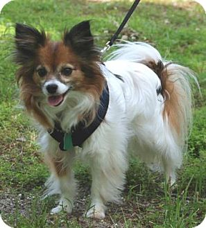 Papillon Dog for adoption in Nationwide, Maryland - Jolie (in Maryland)