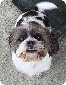 Petit Basset Griffon Vendeen/Beagle Mix Dog for adoption in Plainfield, Illinois - Chloey