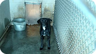 Labrador Retriever Mix Dog for adoption in Henderson, North Carolina - Teal
