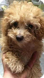 Poodle (Miniature) Puppy for adoption in Union Grove, Wisconsin - Buffy