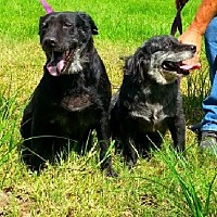 Flat-Coated Retriever Mix Dog for adoption in Simsbury, Connecticut - Beverly and Tamika