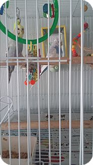 Parakeet - Other for adoption in Punta Gorda, Florida - No Name pair of Parakeets